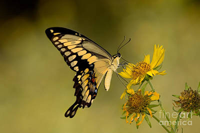 Photograph - Giant Swallowtail by Gregory G Dimijian MD