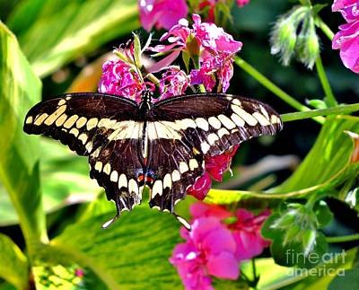 Photograph - Giant Swallowtail by Marilyn Smith