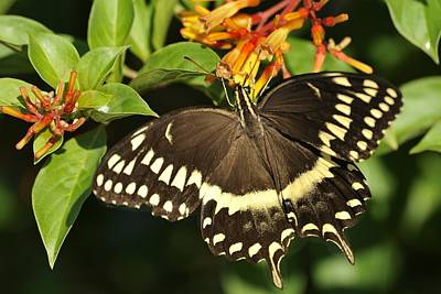 Photograph - Giant Swallowtail On A Firebush by Bradford Martin