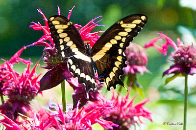 Photograph - Giant Swallowtail On Raspberry Bee Balm by Kristin Hatt