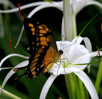 Photograph - Giant Swallowtail by Trent Mallett