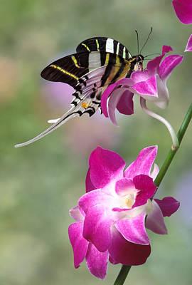 Robert Jensen Photograph - Giant Swordtail Butterfly Graphium Androcles On Orchid by Robert Jensen