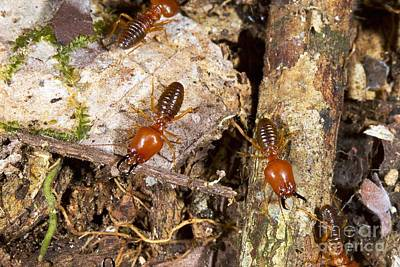 Termites Photograph - Giant Termites by Dr Morley Read