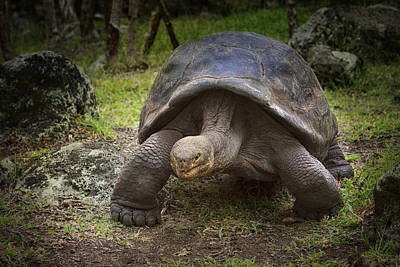 Giant Tortoise Art Print by Kim Andelkovic