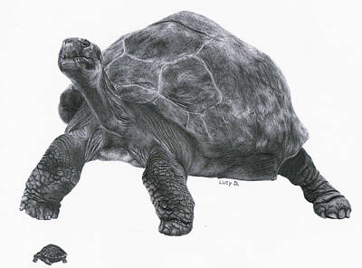Giant Tortoise Drawing - Giant Tortoise by Lucy D