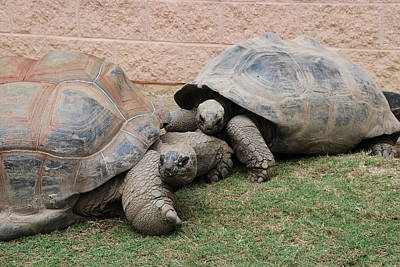 Photograph - Giant Tortoises by Jennifer Ancker
