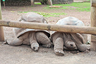 Reptiles Royalty-Free and Rights-Managed Images - Giant tortoises by Tom Gowanlock