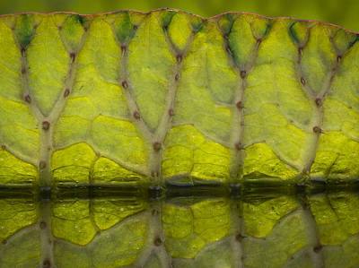 Photograph - Giant Water Lily by Jean Noren