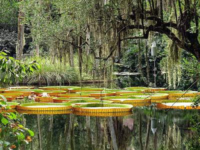 Waterlily Photograph - Giant Water Lily Pads by Zina Stromberg