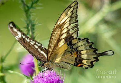 Photograph - Giant Yellow Swallowtail by Cheryl Baxter