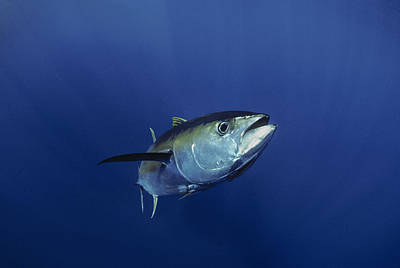 Giant Yellowfin Tuna Art Print by Jeffrey Rotman