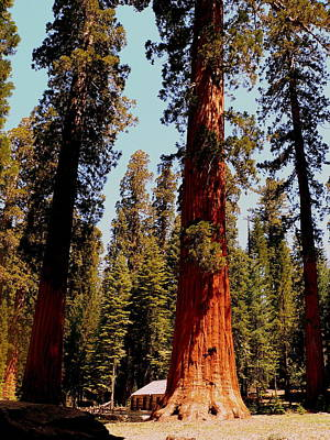 Photograph - Giant Yosemite Redwood Trees by Jeff Lowe