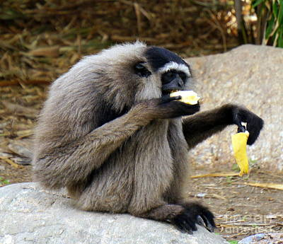Chango Photograph - Gibbon Snack by Rachel Munoz Striggow