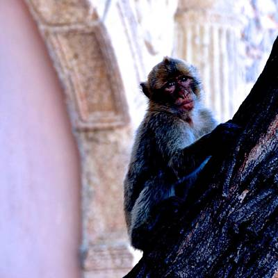 Photograph - Gibraltar Barbary Macaques by Eric Tressler