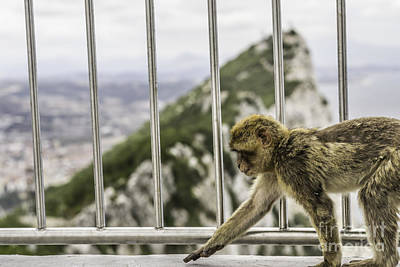 Photograph - Gibraltar Monkey by Stefano Piccini