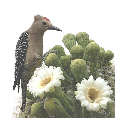 Of The Rincon Photograph - Gilla Feasting In Saguaro Blooms by Bryan Shane