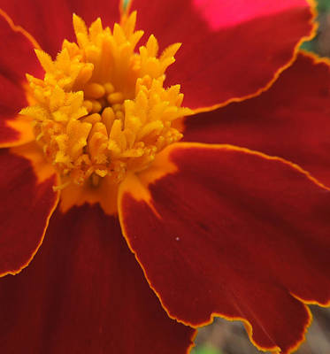 Photograph - Gilt-edged Red Flower by Peg Toliver