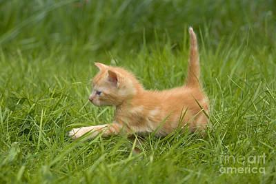 Ginger Cat Photograph - Ginger Tabby Kitten by Jean-Michel Labat