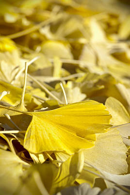 Photograph - Gingko Leaf by Carol Erikson