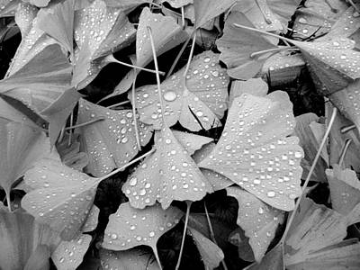 Photograph - Ginkgo Biloba Leaves by Brian Chase