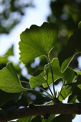 Photograph - Ginkgo Biloba Leaves by Vadim Levin