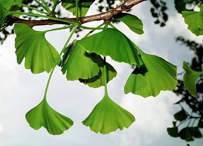 Gingko Wall Art - Photograph - Ginkgo Leaves by Cordelia Molloy