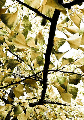 Botanic Photograph - Ginkgo Leaves by Frank Tschakert