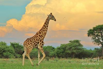 Photograph - Giraffe - Into The Storm by Hermanus A Alberts