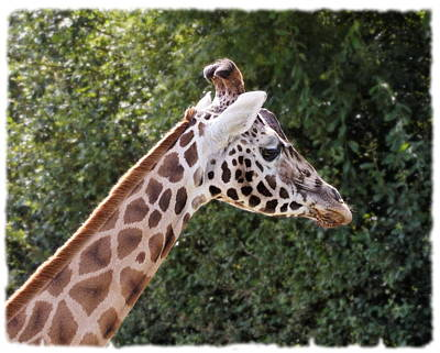 Photograph - Giraffe 01 by Paul Gulliver