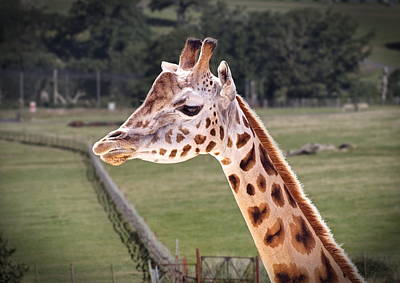 Photograph - Giraffe 02 by Paul Gulliver