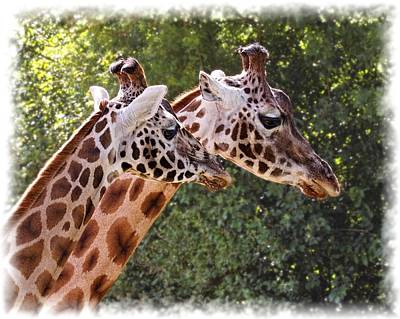 Photograph - Giraffe 03 by Paul Gulliver