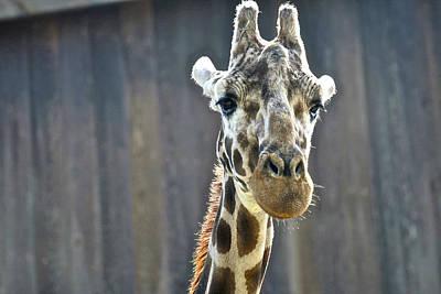 Photograph - Giraffe 2 by SC Heffner