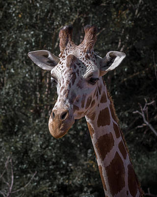 Photograph - Giraffe 5 by Ernie Echols