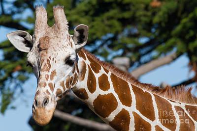 Somalia Photograph - Giraffe 7d8893 by Wingsdomain Art and Photography