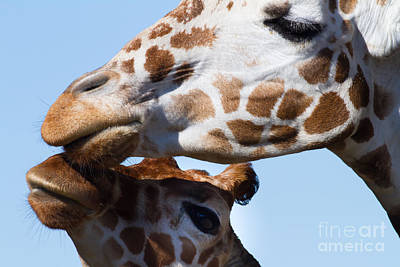 Somalia Photograph - Giraffe 7d8914 by Wingsdomain Art and Photography