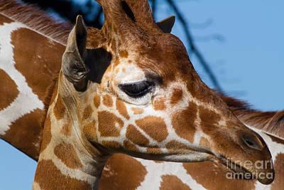 Somalia Photograph - Giraffe 7d8918 by Wingsdomain Art and Photography