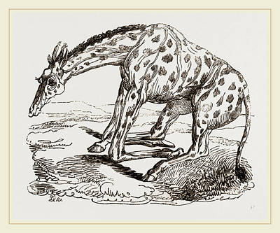 Lie Down Drawing - Giraffe About To Lie by Litz Collection