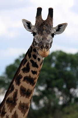 Giraffe Wall Art - Photograph - Giraffe  by Aidan Moran
