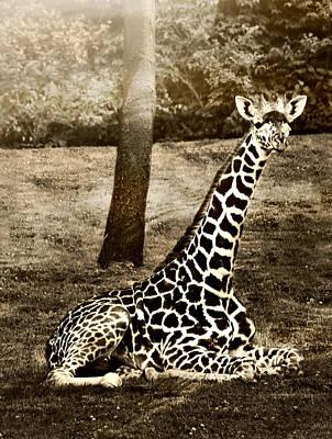 Ally Photograph - Giraffe by Ally  White