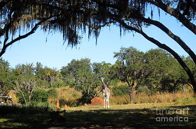 Photograph - Giraffe Among The Trees by Nora Martinez