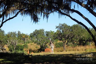 Photograph - Giraffe Among The Trees by Nora Martinez