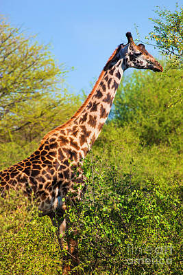 Photograph - Giraffe Among Trees. Safari In Serengeti. Tanzania by Michal Bednarek