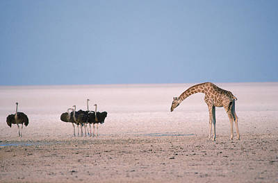 Ostrich Photograph - Giraffe And Ostriches At A Small by Robert Caputo