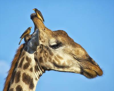 Photograph - Giraffe And Oxpeckers by Gigi Ebert