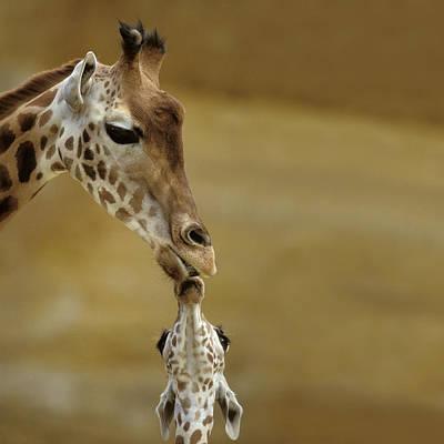 Giraffe And Young Art Print by Jean-Michel Labat