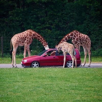 Photograph - Giraffe. Animal Studies by Jouko Lehto