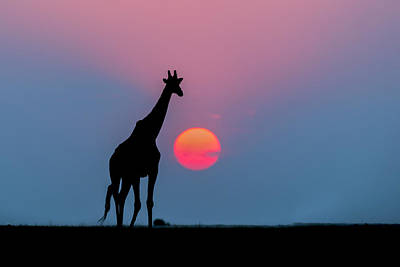 Giraffe At Sunset Chobe Np Botswana Print by Andrew Schoeman