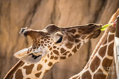 Giraffe Being Hand Fed Art Print by Imagery by Charly