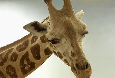 Photograph - Giraffe by Bob Slitzan
