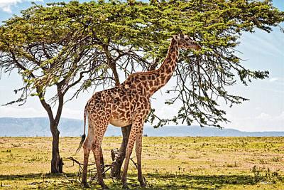 Photograph - Giraffe Browsing by Perla Copernik